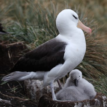 Mixed fortunes for Falkland's seabirds
