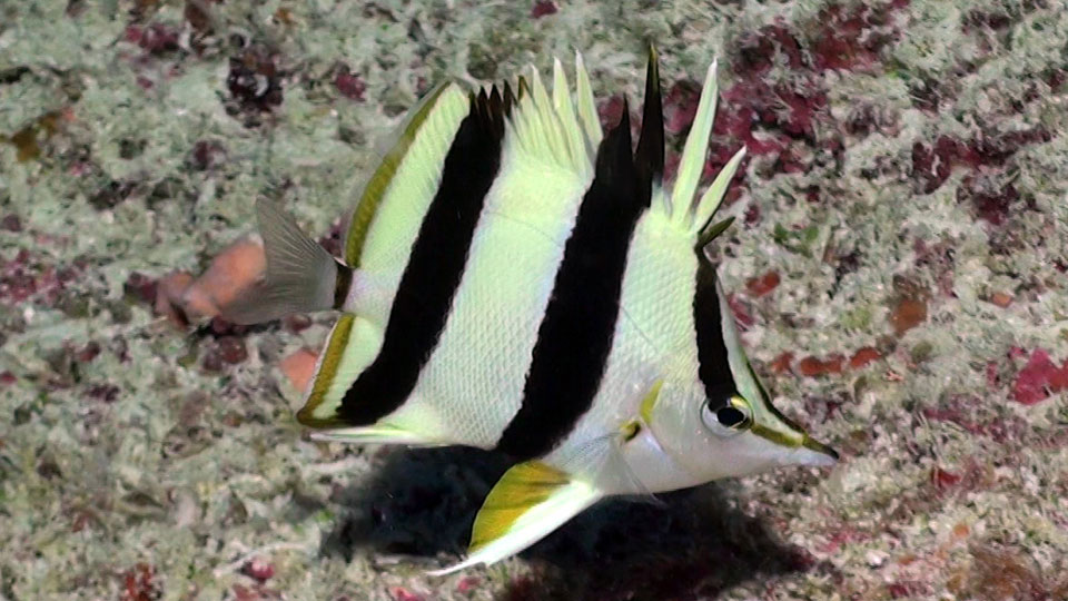 New fish discovered in the twilight zone talk wildlife for New fish discovered