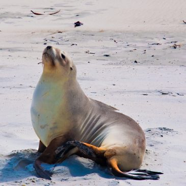 New Zealand sea lion action plan does not go far enough!