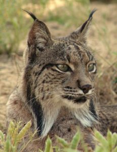 Iberian Lynx one of the inspirations behind talk: Widllife
