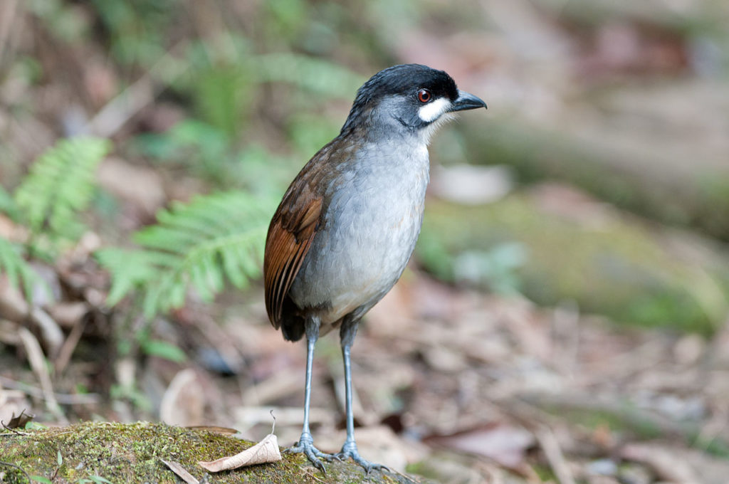 jocotoco-antpitta-one of the inspirations behind talk: Widllife