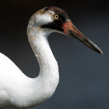 Valuable whooping crane relocated