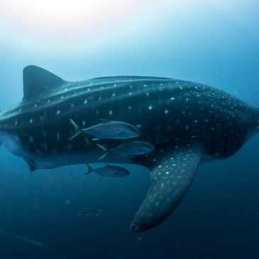 Galapagos whale shark project continues