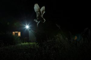 Barn Owl hunting by house. BPOTY GOLD