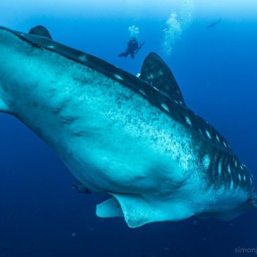 Learning more about Galapagos's whale sharks