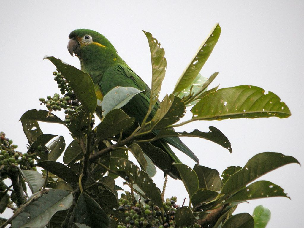 Golden-plumed parakeet in Jocotoco Foundation's Tapichalaca Reserve,