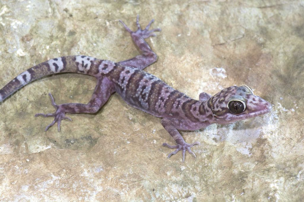 gecko species Cytrodactylus sp.