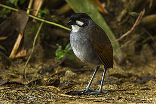 Antpitta discovery triggers 20 years of conservation