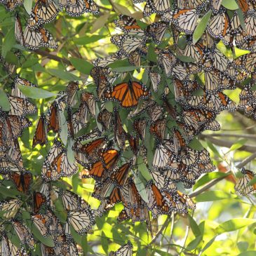 Overwintering Monarch numbers drop by 74%