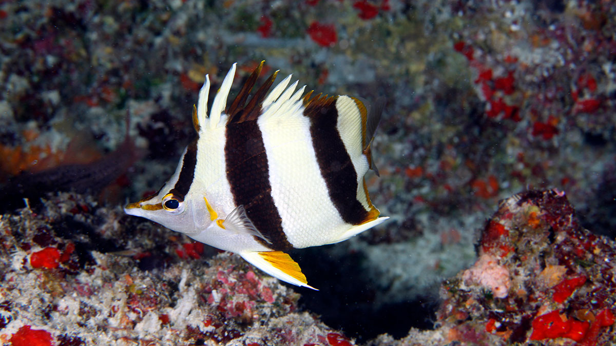 New Butterflyfish
