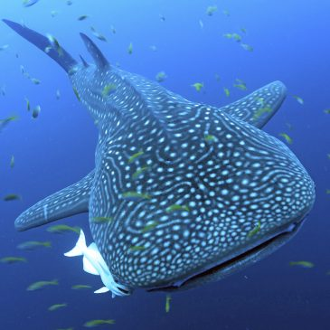 Whale sharks become the subject of pioneering research