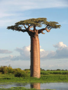 adansonia_grandidieri-baobab-tree part of the talk: Wildlife brand story