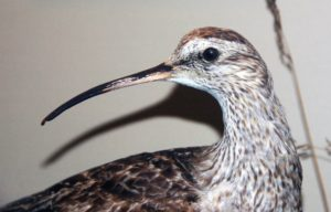 eskimo-curlew-part-of-the-talk:-Wildlife-brand-story