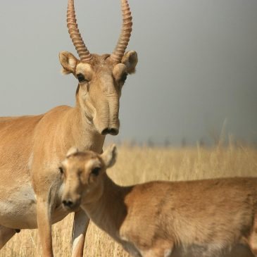 Saiga show signs of recovery following mass die-off