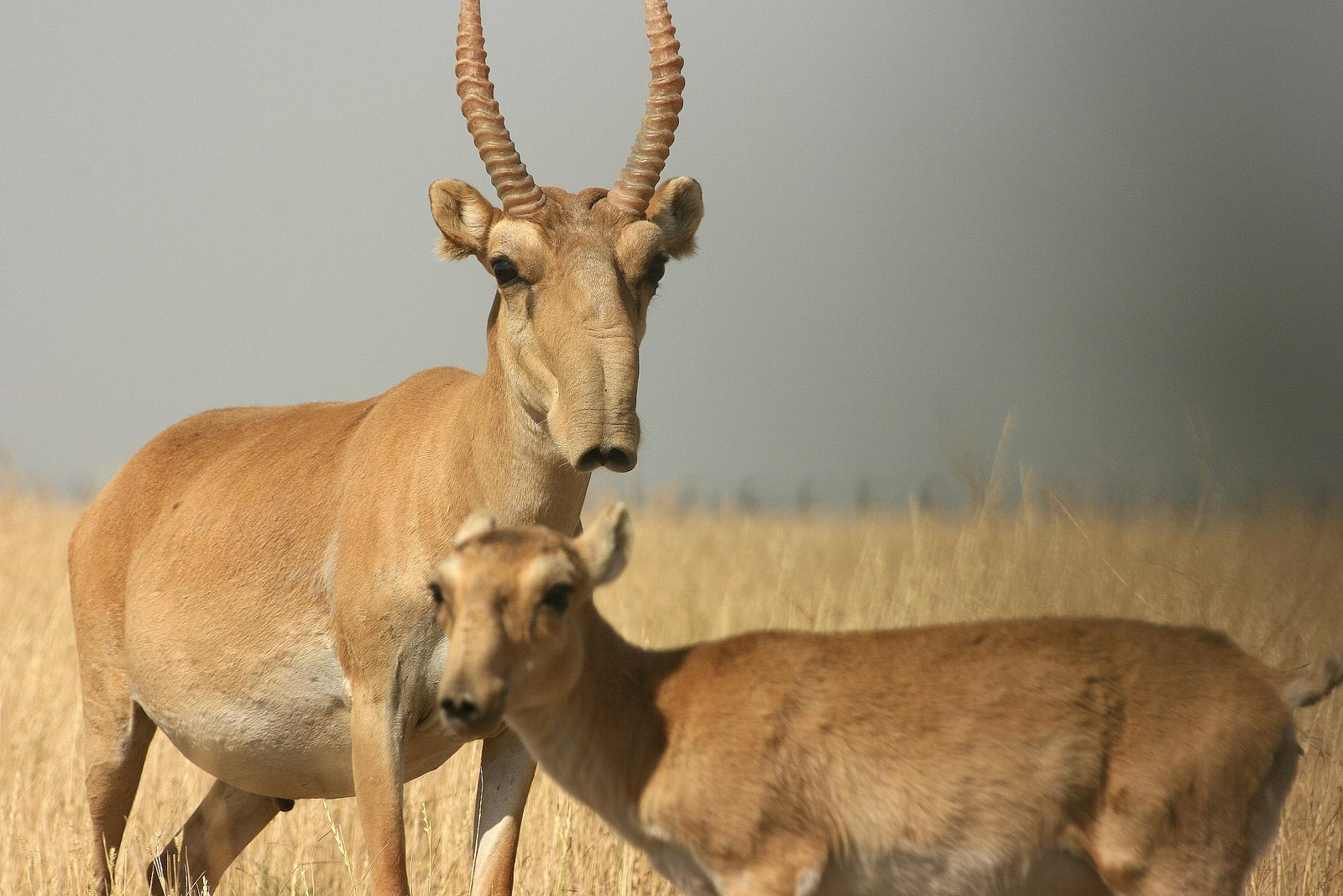 Saiga antelope © N. Singh