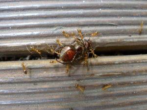1280px-yellow_crazy_ants_v_beetle_5698996539