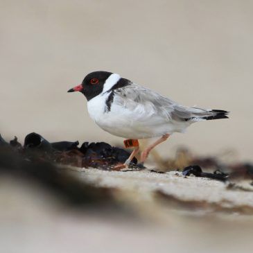 On a quest to save waders