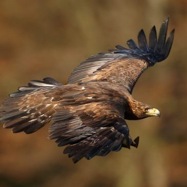 New plan puts eagles at risk!