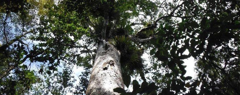 A healthy kauri tree