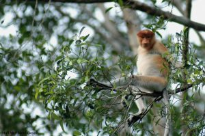 Steve Backshall and Helen Glover race to save rainforest for Proboscis monkey