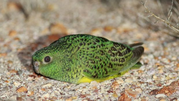 Night parrot talk: Wildlife