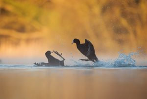 Coots fighting, BPOTY Gold,