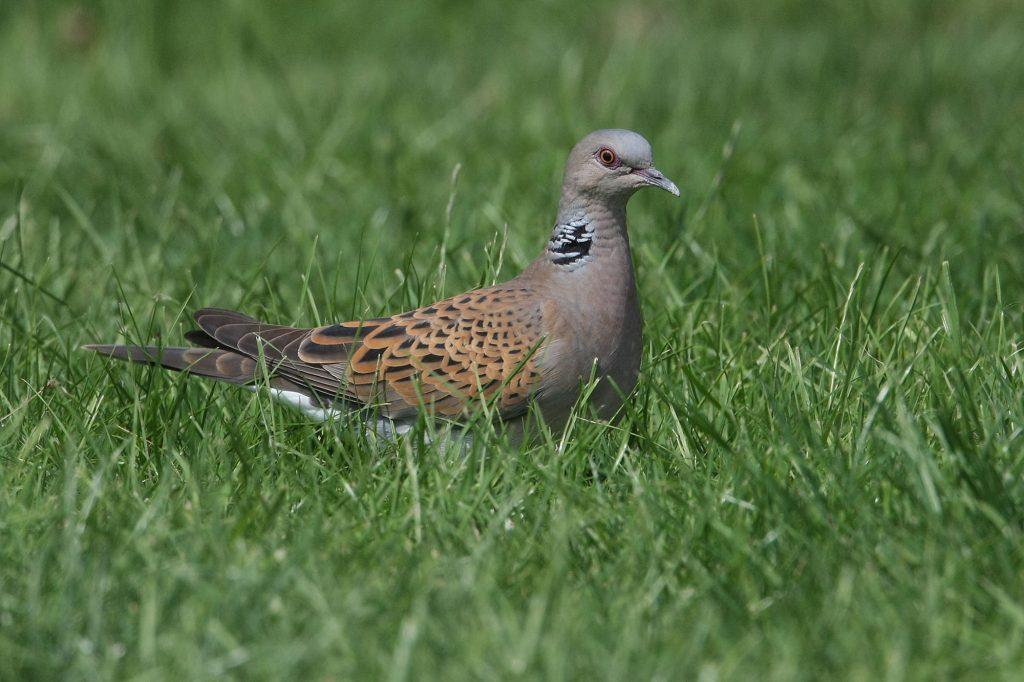 BBS - turtle dove
