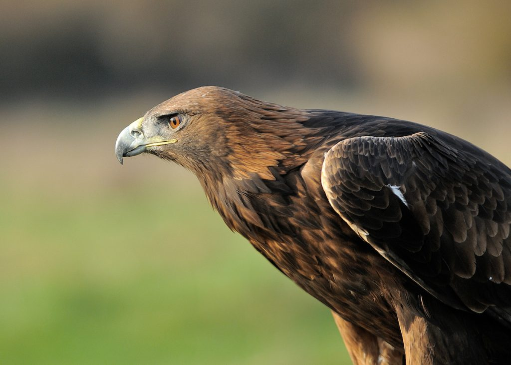 Golden Eagle are at risk from onshore windfarms
