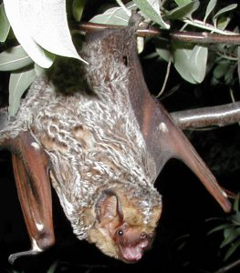 Hoary Bat at risk from onshore windfarms