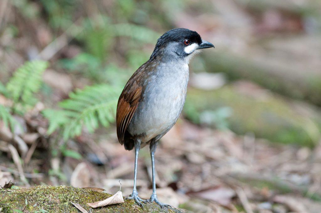 Jocotoco antpitta at Tapichalaca Reserve, Ecuador