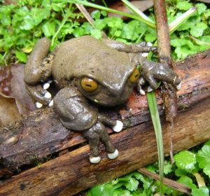 Tapichalaca treefrog discovered in Jocotoco Foundation reserve