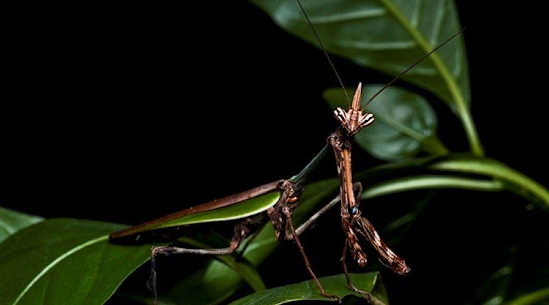 Legendary dragon mantis found!