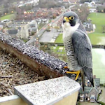Norwich Peregrines link