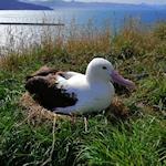 Royal Albatross webcam link