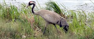 Wildlife talks - Eurasian Crane